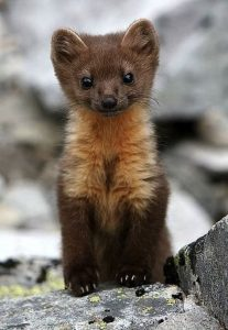 A really cute weasel